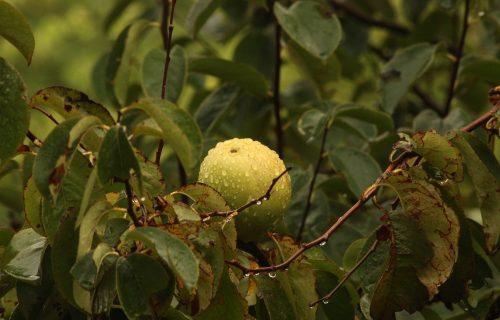 Natural Hair Remedies: Guava Leaves